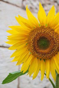 Sonnenblume in der französischen Stadt Chinon. von Christa Stroo fotografie