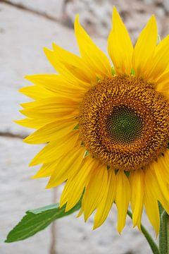 Sonnenblume in der französischen Stadt Chinon.