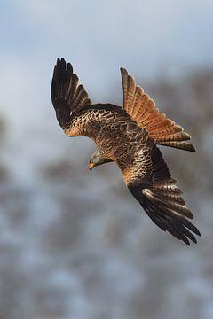 Rotmilan im Tauchflug in England von Jeroen Stel