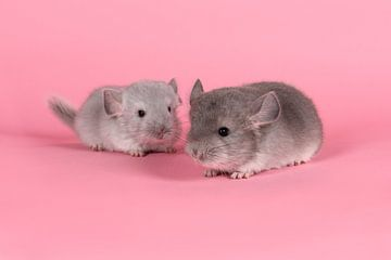 Zwei junge graue Chinchillas auf einem rosa Hintergrund von Elles Rijsdijk