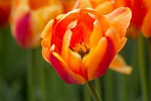 Tulpje