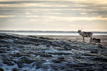 Rentiere in den isländischen Ebenen von Julian Buijzen