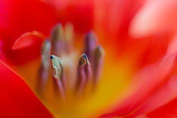 Tulipe rouge sur Vliner Flowers