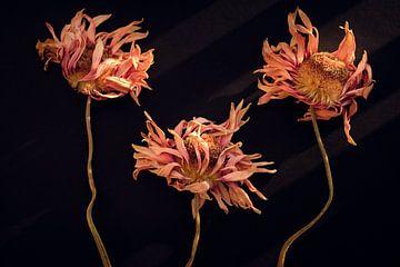 Gedroogde  Gerbera's in warm herfst licht van Karel Ham