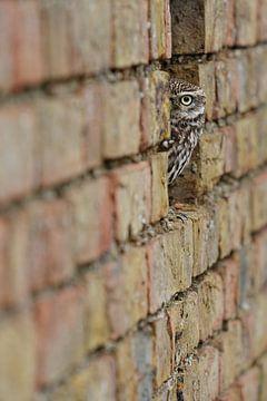 Kuckuck, kuckuck! Die kleine Eule schaut um die Ecke von der alten Mauer. von Jeroen Stel