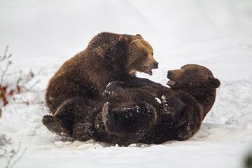 Zwei Braunbären (Ursus arctos) von Dirk Rüter