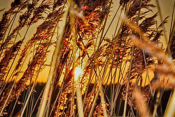 Zonsondergang achter riet von Guido  van Herpen