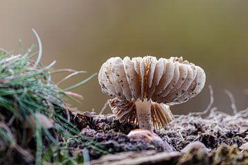 Lamellen paddenstoel van Anjo ten Kate