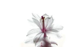 Witte cactusbloem
