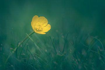 Gele moerasgoudsbloem op de weide van Steffen Peters