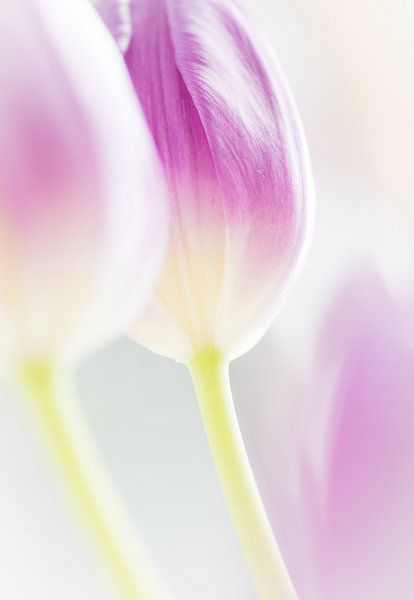Tulp in high key van Greetje van Son