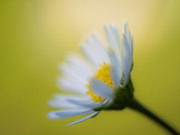 Gänseblümchen im Sonnenlicht von Cynthia Derksen
