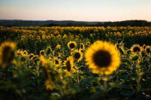 Zonnebloemen in Frankrijk van Mark Wijsman