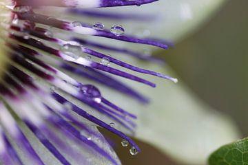 Passiebloem met regen druppels van Ruud Wijnands