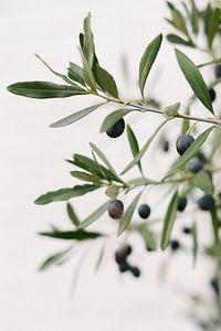 Olijfboom | Olijftakken | Botanische foto