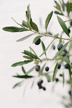 Olijfboom | Olijftakken | Botanische foto van Mirjam Broekhof
