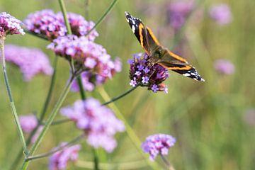 Nektar des Schmetterlings (Vanessa atalanta) auf den Blüten von Verbena bonariensis (Flieder) von Lieven Tomme