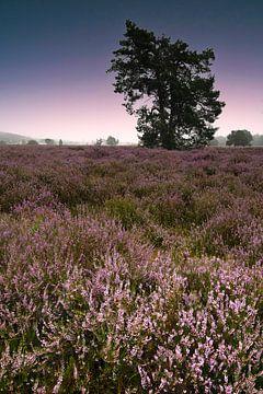 Lande violette