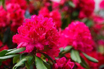 Rhododendronblüte, Rhododendron, Deutschland, Europa