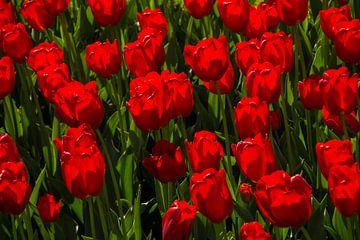 Tulpen van Bertram Bergink