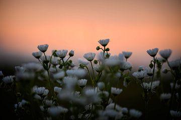 Gänseblümchen unter orangem Himmel von Tania Perneel