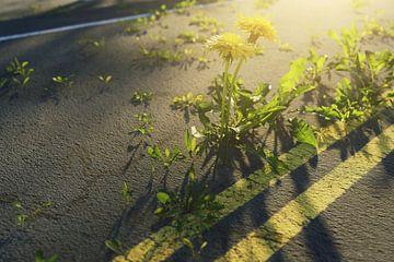 Löwenzahn Pflanzen wachsen aus beschädigtem Asphalt heraus von Besa Art