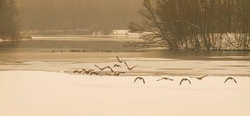 Gansen die opvliegen bij de bevroren vijvers van Erenstein bij Kerkrade van