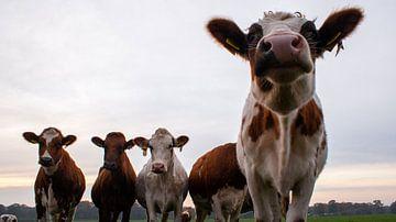 nieuwsgierige koeien van Liv Jongman