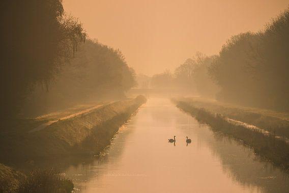 Zwanen in het gouden ochtendlicht