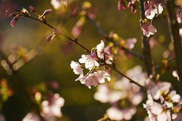Prunusblüte von Tania Perneel