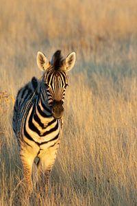 Baby zebra van Anneloes vd Werff