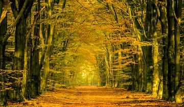 Chemin à travers une forêt de chute entourée par des arbres de hêtre sur Sjoerd van der Wal
