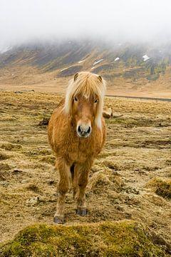 IJslands paard in de mist van
