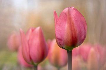 Rose tulpen sur