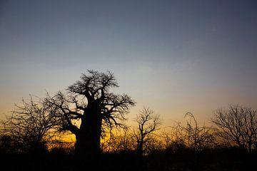 Baobab boom in Botswana bij zonsopgang, Zuid-Afrika van Tjeerd Kruse