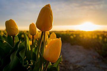 Gelbe Tulpen von Muriël Mulder