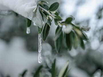 olijftak met ijspegel van Tania Perneel