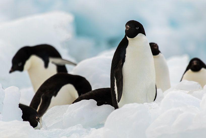 Adelie pinguin Antarctica van Eefke Smets