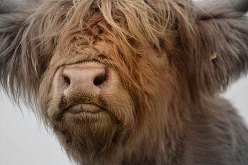 Schotse hooglander kop kalf 2 kleurig van Sascha van Dam