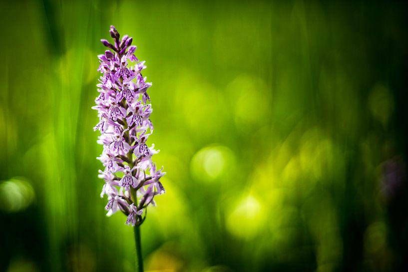 Orchid von Udo Wanninger limitiete Auflage