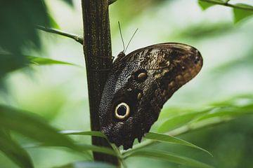 Bruine vlinder in Quindío sur Ronne Vinkx