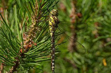Libelle in een boom von Andrea Ooms