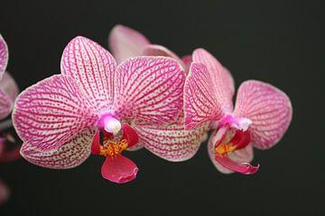 orchide van Marian van Miltenburg