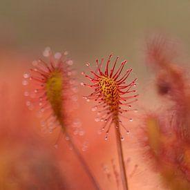 Zonnedauw, een klein vleesetend plantje van Ina Bouhuijzen
