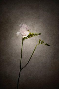 Grazile Blume - Die Freesie | Vintage-Stil von Melanie Viola