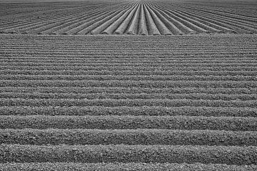 De aardappelen zijn gepoot