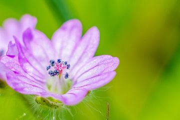 kleine wilde bloem met stamper van Frank Ketelaar