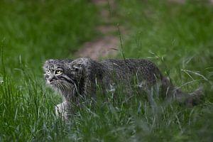 Geht zielstrebig voran. Wilde flauschige Katze Pallas' strenger Blick im smaragdgrünen Gras