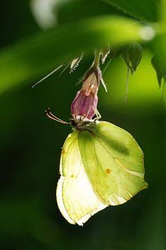 Citroenvlinder (Gonepteryx rhamni) van