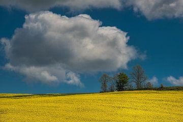 Koolzaadveld in volle bloei met blauwe lucht en wolk van